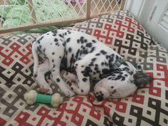 Dalmatian puppy dreams....nothing cuter than a sleeping dalmatian......
