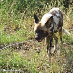 Über Instagram hier eingefügt #rhulani lodge @rhulani_lodge http://ift.tt/1ZNAWt1 - Malariafreie #Wildreservate in #südafrika #southafrica #malariafree #gamereserves #wb1001rb #wbesaesa @south_africa_through_my_eyes #wbpinsa #safari #photographicsafari #urlaub #holiday #photooftheday #reisen #afrika #africa #travelblogger #germanbloggers #reiseblogger #safarilodge #malariafreesafari #gamereservesouthafrica #africa_nature #nature_africa