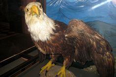 Nice Bald Eagle Paintings photos