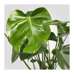 MONSTERA Potplant, Gatenplant