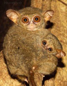 tarsius monkey