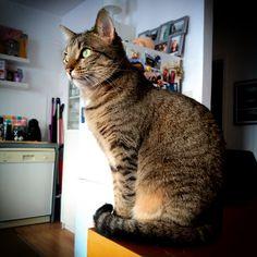 Zack is waiting for Santa to come! 😸 #zackthecat #zizimut #cat #kitten #kitty #purr #gato #gatinho #painatal #santa #christmas #natal