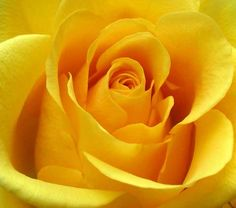 Would like to know more about Yellow Rose? This site containts information about this flower. Check out the yellow rose pictures as well. Big Yellow, Shades Of Yellow, Mellow Yellow, Color Yellow, Yellow Art, Lemon Yellow, Bulk Roses, My Favorite Color, My Favorite Things