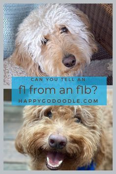 Can you tell which of these two adorable Goldendoodles is an F1? F1B? Get the 4-1-1 on these two Goldendoodle generations and learn why you may fall in love with both! Red Goldendoodle, Goldendoodle Grooming, Goldendoodles, You Doodle, Doodle Dog, Purebred Golden Retriever, Poodle Mix Breeds, Australian Labradoodle, Purebred Dogs