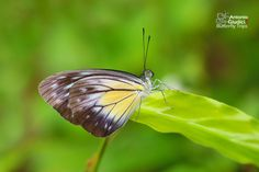 Ventral view of a female Malayan Wanderer(Pareronia valeria lutescens)(ผีเสื้อฟ้าเมียเลียนมลายู) photographed by Antonio Giudici at Ranong, Thailand