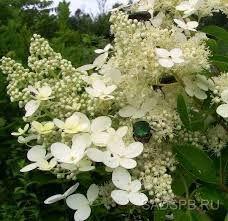 Mustilanhortensia kukkii pitkään, koska tertussa oleva kukat avautuvat vuoronperään. Varjoisa penkki,