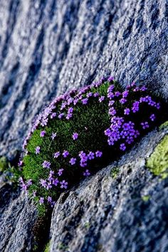 Most Beautiful Purple Flowers with Pictures : All purple flowers are beautiful and with meanings of their own. Beautiful purple flowers for your garden Types Of Purple Flowers, Rock Flowers, Flowers Nature, Wild Flowers, Beautiful Flowers, Plantes Alpines, Wallpaper Wedding, Alpine Plants, Types Of Plants