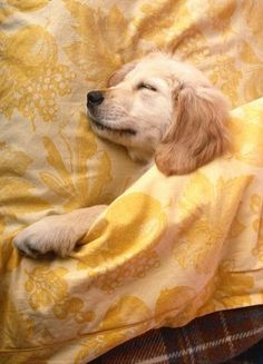 Nighty nite. Sleep time for this golden retriever puppy