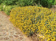 Helichrysum cymosum Garden Projects, Plants, Gardening, Garden, Lawn And Garden, Plant, Planets, Horticulture