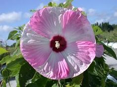 Hardy Hibiscus, Hibiscus, Rose Mallow - Our Plants - Kaw Valley Greenhouses Hawaiian Flowers, Hibiscus Flowers, Cactus Flower, Purple Flowers, Lilies Flowers, Yellow Roses, Pink Roses, Unusual Flowers, Most Beautiful Flowers