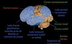 Architecture cérébrale - Lire consiste à lier le système visuel derrière le cerveau (cortex visuel sur l'image ci dessous) au système verbal (lobe temporal) situé à gauche dans le cerveau. Un apprentissage efficace de la lecture consiste à créer des connexions neuronales entre les régions associées aux phonèmes (les sons entendus) et la région associée à la reconnaissance des lettres (par la vue).