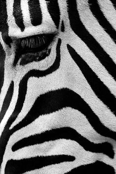 Here you can clearly see a zebra texture. You don& clearly see a zebra but . Beautiful Creatures, Animals Beautiful, Cute Animals, Animals Images, Regard Animal, Affinity Photo, Foto Art, Tier Fotos, Mundo Animal