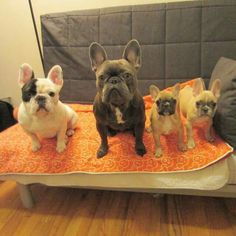 Manny, Frank, and two new friends, French Bulldog Puppies❤❤❤