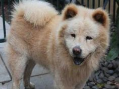 A324388 is an adoptable Chow Chow Dog in Pasadena, CA.  ...