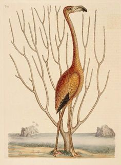 Flamingo - Illustration from the Natural History of Carolina by Mark Catesby - published in the early 1700s