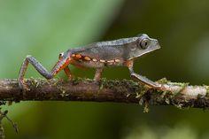 Piotr Naskrecki | White Lined Monkey Frog Guyana Photograph