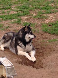 Mya  alaskan malamutes love dirt