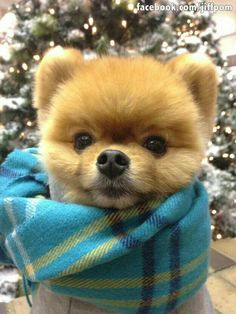 Marvelous Pomeranian Does Your Dog Measure Up and Does It Matter Characteristics. All About Pomeranian Does Your Dog Measure Up and Does It Matter Characteristics. Cute Puppies, Cute Dogs, Dogs And Puppies, Cute Baby Animals, Animals And Pets, Jiff Pom, Cute Pomeranian, Save A Dog, Happy Dogs