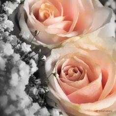 Rosas F00561 Wifred Llimona - Detalle