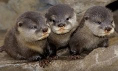 baby otters... Can I have some???