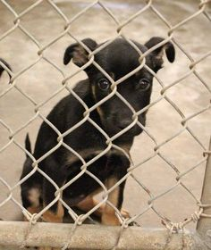 07/24/14~Odessa baby needs out NOW before he/she gets sick!!~~NO CARD YET ~Kennel A21 Available ? ****$ to adopt   Located at Odessa, Texas Animal Control. Must have a valid Drivers License and utility bill with matching address to adopt. They accept Credit Cards, cash or checks. We ARE NOT the pound. We are volunteers who network these animals to try and find them homes. Please send us a PM if we can answer any questions for you.