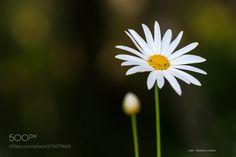 La penitente !!! - Margarita canaria - Chrysanthemum frutescens .