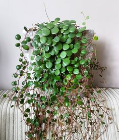 "299 Likes, 13 Comments - Angela Rapisarda (@arapisarda) on Instagram: ""Time for a haircut ✂ #peperomia #peperomiapepperspot #plantcuttings #cutting #plants #houseplants…"""