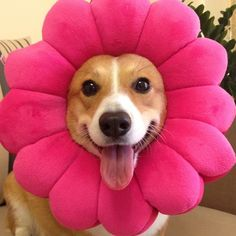 I want corgi flowers in my garden!!!!!