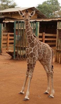 Kiko the baby giraffe lost his mother.