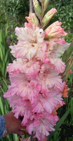Gladiolus 'Origami' (Gladiolus x hortulanus)