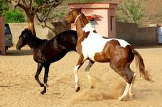 Marwari horse (indigenous horses of india)