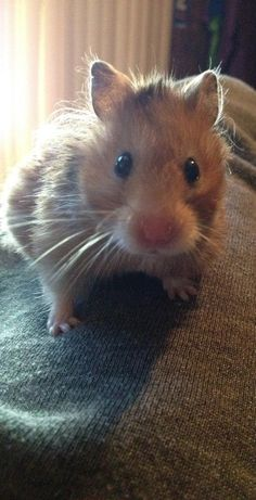 My teddy bear hamster... I cried when my teddy bear hamster George died. He was so cute....he did the cutest things.