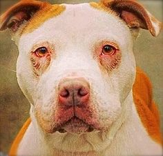 1 21 She showed me her heart: Saddest dog at shelter has waited 3 years for a family. ~ This has to be the saddest face I've ever seen on a dog. Shelter Dogs, Animal Shelter, Rescue Dogs, Animal Rescue, Cane Corso, Sphynx, Chinchilla, Wild Life, Otter