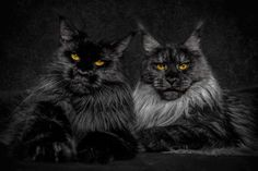 """The Maine Coon is the single largest breed of cat that's been domesticated. Any larger and you'd probably be worried about getting to your fridge with your life intact. Robert Siljka sees Maine Coons as majestic beasts. He wanted to share their beauty with the world. """"My passions are cats and photog"""
