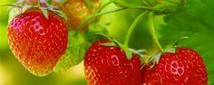 Como plantar morango - Clima  O morango cresce melhor em clima ameno ou clima frio, mas pode ser cultivado em regiões mais quentes. Em regiões onde a temperatura não é baixa durante o inverno, as mudas de morango devem ser colocadas em um ambiente refrigerado a aproximadamente 4°C durante 15 a 20 dias, antes de sere... - http://botasortopedicas.com.br/ecoblog/2014/11/08/como-plantar-morango/