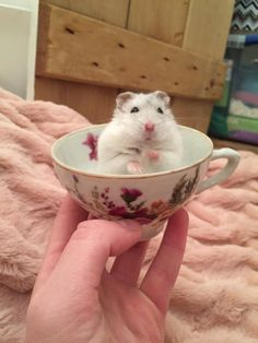 Hamsters in Cups - this one doesn't look overly comfortable though