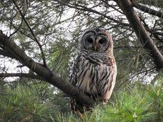 Barred Owl in pine tree[4608 x 3456][OC] - http://ift.tt/1Ty0s5C