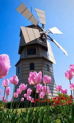 The windmill and tulip in Netherlands