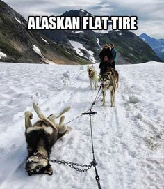 ha! so funny but looks sort of sad to me at the same time is that dog okay? Alaskan Flat Tire, Funny Pictures With Captions, Best Funny Pictures, Best Memes, Make You Smile, Funny Dogs, Hilarious Jokes, Funny Memes, Videos Funny
