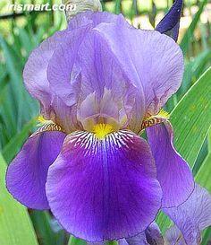 Sky Tower Antique Tall Bearded Iris
