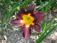 This is a Laura Harwood x unknown seedling. I love the red-black color and the beautiful big yellow throat.