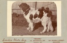 Famous Mascot in the Boer War Historical Images, Newfoundland, Cow, Literature, Presents, America, History, Animals, Literatura