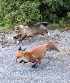 Norwegian forest cat chasing a fox