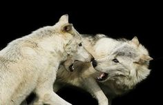 The wolf's eyes are directed to one side (they stick together).