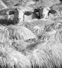 Perdus dans un champ de laine / Lost in a field of wool Champs, Photo Look, Sheep, Cow, Wool, Animaux