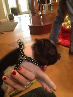 OurPiggies - Pictures of mini pigs | Teacup pigs for sale -
