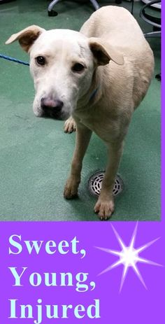 Sweet, Young, Injured Lab, 1691858, Needs Rescue ASAP!!! Medical posted on thread. COCO (A1691858) I am a male tan Labrador Retriever mix. The shelter staff think I am about 1 year old. I was found as a stray and I may be available for adoption on 04/20/2015. — Miami Dade https://www.facebook.com/urgentdogsofmiami/photos/pb.191859757515102.-2207520000.1429221941./963486173685786/?type=3&theater