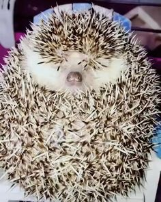 Cute Little Animals, Cute Funny Animals, Funny Dogs, Cute Cats, Big Cats, Cute Animal Videos, Cute Animal Pictures, Cute Hedgehog, Cute Creatures