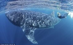 Swim with giant whales ... Chech us out! http://cancun4u.com.mx