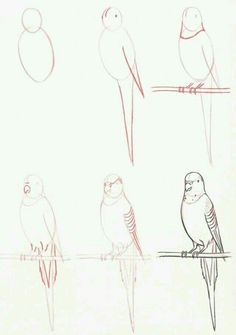 Drawing Techniques Learn to draw: Budgie by bessie Easy Animal Drawings, Animal Sketches, Bird Drawings, Easy Drawings, Pencil Drawings, Drawing Animals, Animal Illustrations, Drawing Techniques, Drawing Tips
